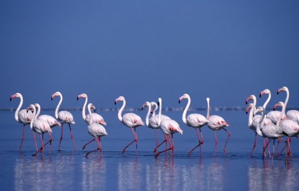 Wildlife, Birds, Colony, Pink flamingos wading in shallow water of salt pans in Walvis Bay Namibia