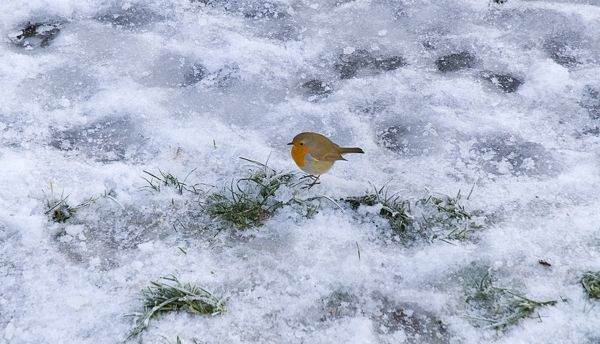 IRELAND, County Roscommon, Boyle, Lough Key Forest Park, Robin in the snow on the ground